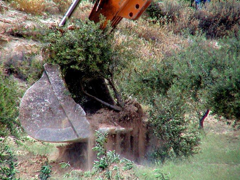 مستوطنون يقطعون عشرات أشجار الزيتون جنوب نابلس