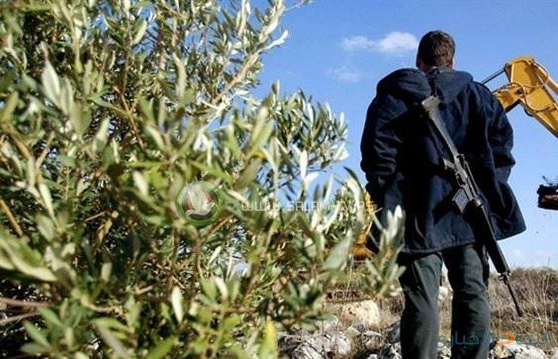 مستوطنون يقتلعون أشجار زيتون بترمسعيا