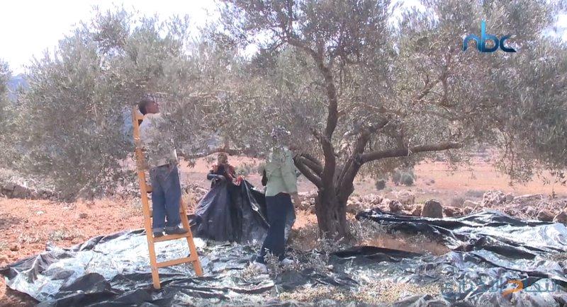 موسم قطف الزيتون يشهد اعتداءات من قبل الاحتلال