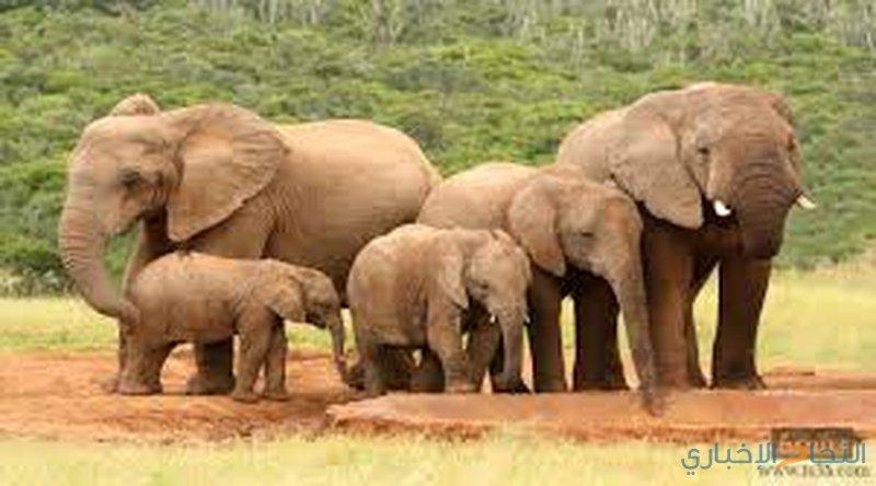 فيل يقتل سائحة أثناء التقاطها صورة له!