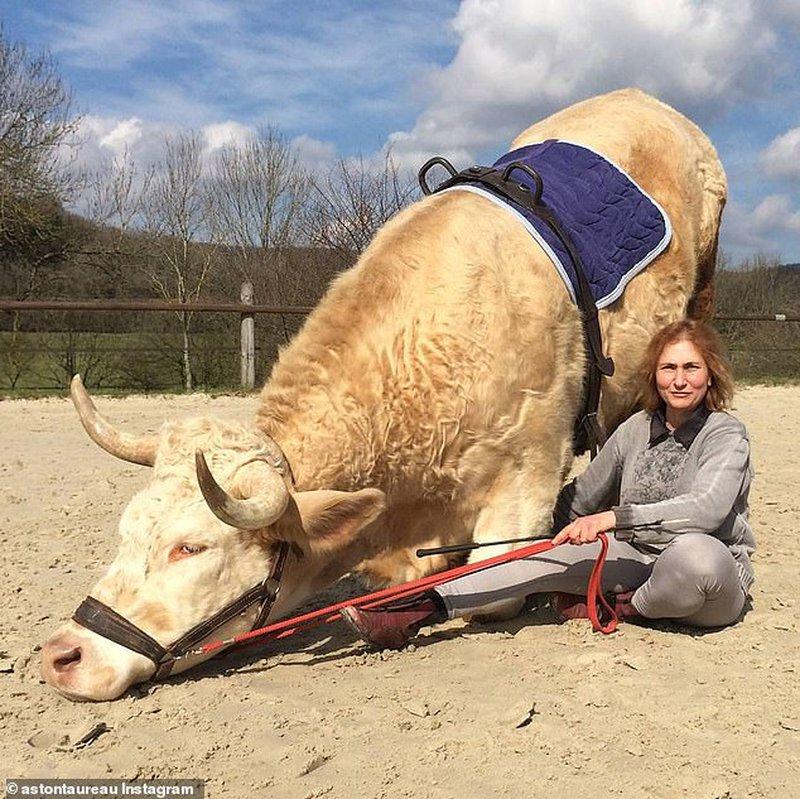 """""""هرب من الذبح"""".. ثور فرنسى رشيق ينافس حصانا فى قفز الحواجز"""
