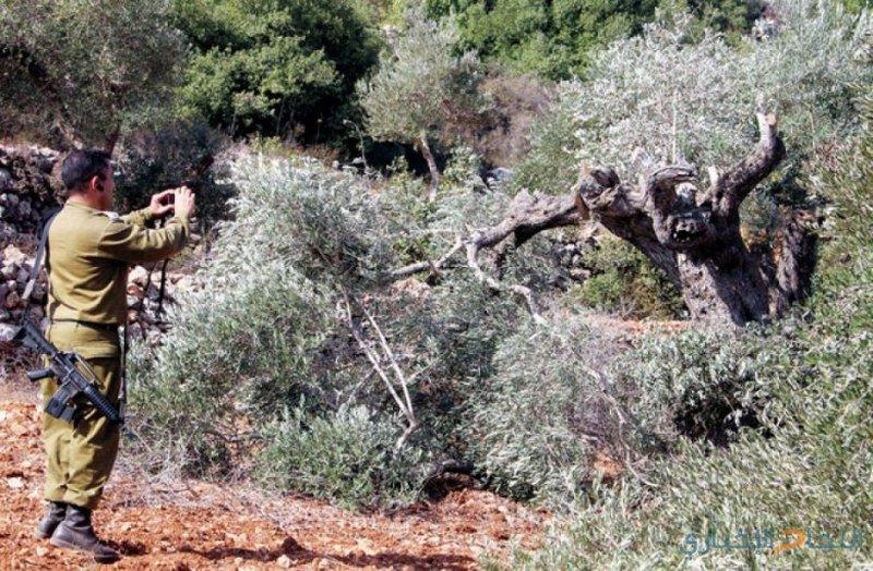 تجريف 30 دونما واقتلاع 550 شجرة غرب الخليل
